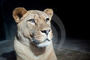 Close-up Portrait Of A Majestic Lioness Royalty Free Stock Photo - Image: 17847435