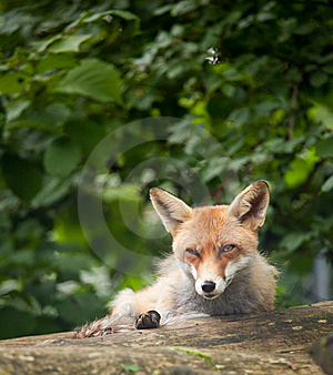 Red Fox Royalty Free Stock Image - Image: 17847466