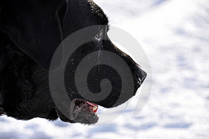 Black Labrador In Profile In The Snow Royalty Free Stock Photo - Image: 17850455