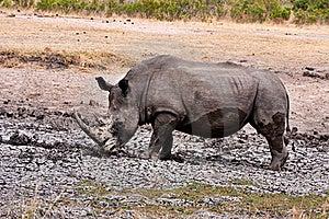 African White Rhinoceros Royalty Free Stock Photos - Image: 17851798