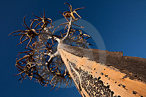 Quiver Trees Stock Photos - Image: 17853063