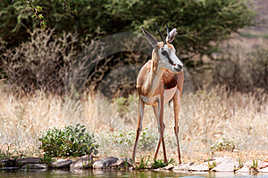 Springbuck Royalty Free Stock Photography - Image: 17853377