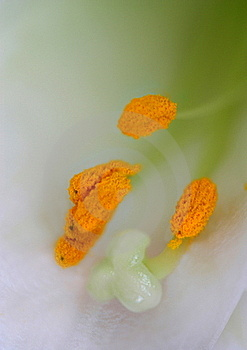 Close-up Of Lily Stamen Royalty Free Stock Photography - Image: 17854047