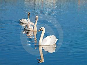 Swans Stock Photos - Image: 17855533