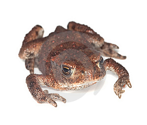 Baby Common Toad (Bufo Bufo) Stock Images - Image: 17861764