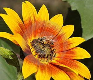 Tournesol Et Abeille Photos stock - Image: 17863713