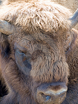 Bison Stock Images - Image: 17867424