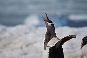 Gentoo Penguin Call Stock Image - Image: 17872511