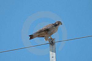 Peregrine Falcon Stock Photography - Image: 17873642