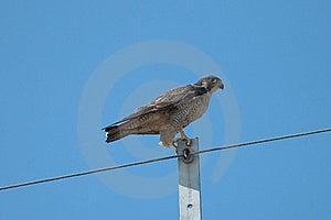 Peregrine Falcon Stock Photography - Image: 17873642