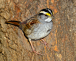 White-Throated Sparrow Stock Image - Image: 17883531