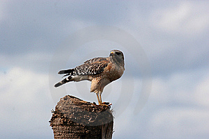 Hawk Stock Photos - Image: 17897663