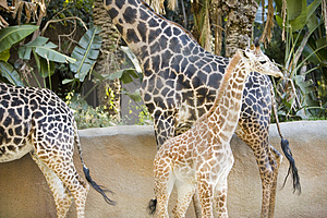 Giraffes Stock Images - Image: 1795354