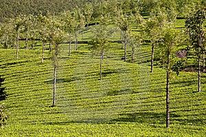 Tea Plantation Royalty Free Stock Photography - Image: 17902357