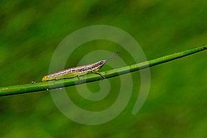 Grasshopper Royalty Free Stock Image - Image: 17902406