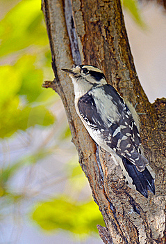 Downy Woodpecker Royalty Free Stock Photography - Image: 17902827