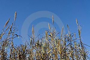 Reeds Royalty Free Stock Image - Image: 17912926