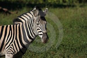 Zebra Royalty Free Stock Images - Image: 17913619