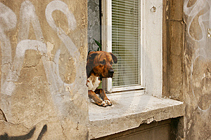 Dog In A Window Royalty Free Stock Image - Image: 17927466