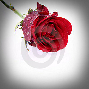 Red Rose Covered With Drops Stock Photo - Image: 17928060