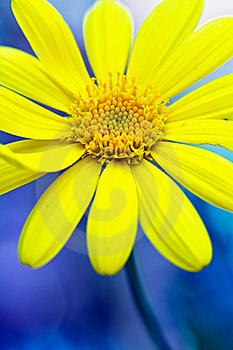 Yellow Daisy Royalty Free Stock Image - Image: 17946236