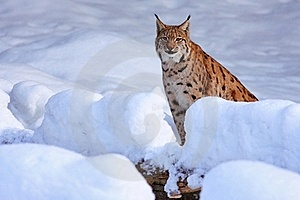 Lynx Royalty Free Stock Images - Image: 17953559
