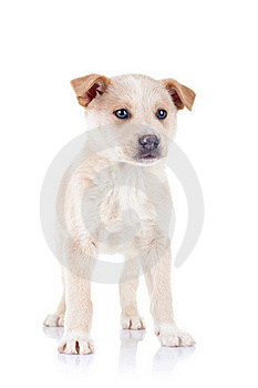 Blond Young Puppy Standing Stock Images - Image: 17970654