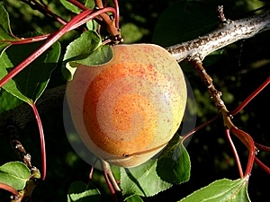 Peach Tree Stock Images - Image: 17972854