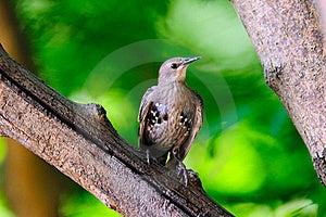 Juvenile European Starling Royalty Free Stock Image - Image: 17980316