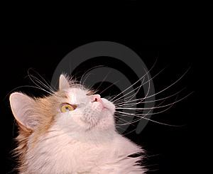 Cat Looking Up Royalty Free Stock Photos - Image: 17983968