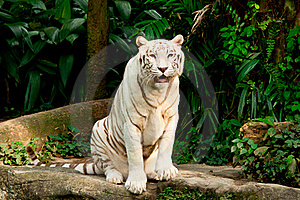 Endangered White Tiger Stock Photos - Image: 17985363