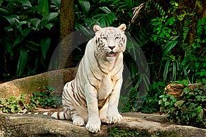 Endangered White Tiger Stock Photos - Image: 17985363