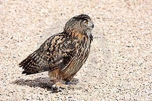 Bird Of Prey On Floor Stock Images - Image: 17988364