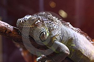 Iguana Stock Photography - Image: 17989912