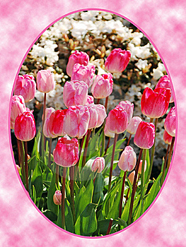Pink Tulips In Oval Frame Royalty Free Stock Photography - Image: 17996687