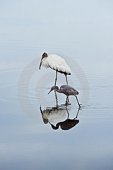 Wood Crane And Blue Heron Royalty Free Stock Image - Image: 17997866