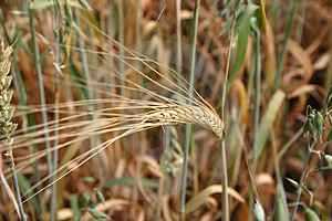 Wheat Spike Stock Photo