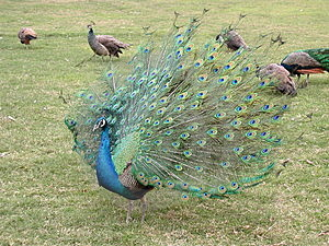 Spreading Peacock Free Stock Images