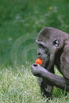 Eating Monkey Free Stock Photo