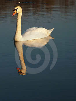 Sunset Swan Stock Photo