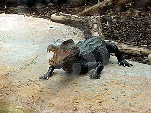 Crocodile Free Stock Photo