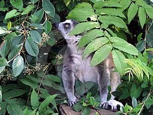 Lemur Free Stock Image