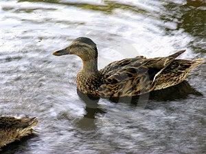 Pato na água Imagens de Stock
