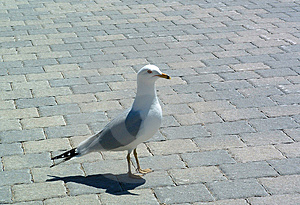 Sea Gull Free Stock Photo