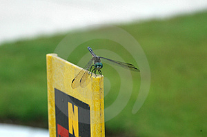 Dragonfly On Post Stock Image