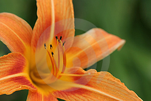 Orange Daylily Stock Photography