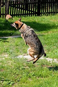Flying Sheep-dog Royalty Free Stock Image