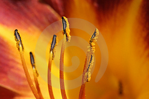 Lily anthers detail Royalty Free Stock Photo