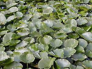 Lilypads Free Stock Photo