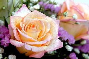 Cream Rose Stock Photo